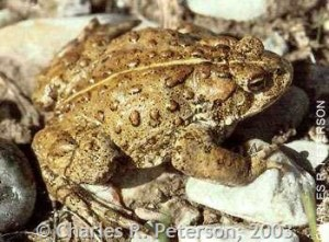 The Western Toad