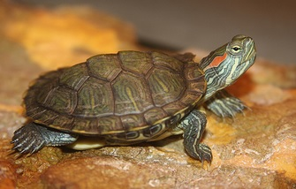 red-eared-slider