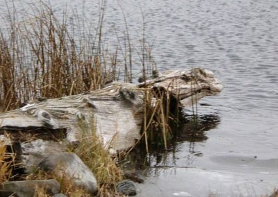 Rhino discovered emerging into Dugan Lake!!!! 150 Mile House BC By Rebecca Pickard
