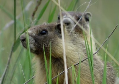 2 sweet marmots scout island Williams Lake By Rebecca Pickard